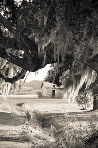 Live Oaks in Vacherie