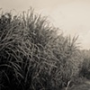 Sugar Cane Fields 2