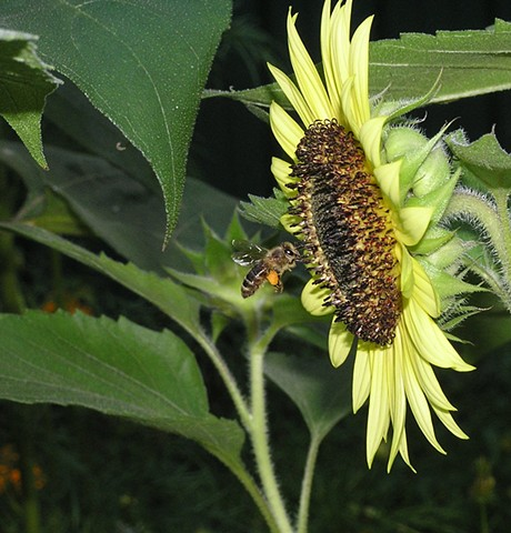 sunflowers, bumble bees