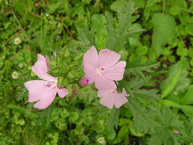 Musk Mallow, Wild Edibles, Wild Pantry, Edible Weeds, Food Under FootWild Pantry, Edible Weeds, Food Under Foot, Organic, Ancient Wisdom
