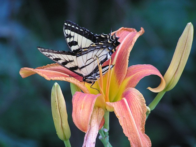 Lilly Fly