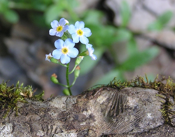 forget me not, fossils, remember, sheila kalkbrenner