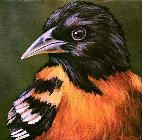 Oriole portrait #3