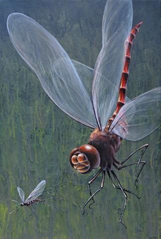 Red Darner hunts Mosquito