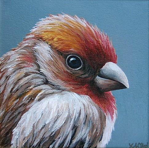House Finch portrait