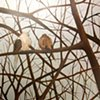 Two Mourning Doves (step 4)