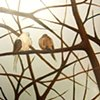Two Mourning Doves (step 3)