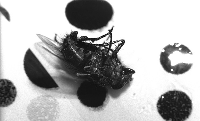 Photograph of a dead fly