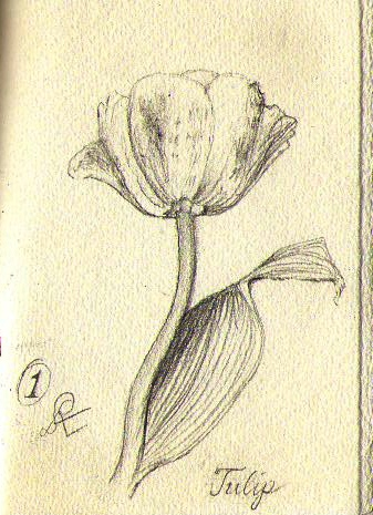 botanical study of a tulip graphite drawing by Rodney Artiles