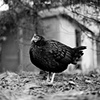 Kaola, Resident of United Poultry Concerns