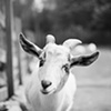 Duncan, Resident of Safe Haven Farm Sanctuary