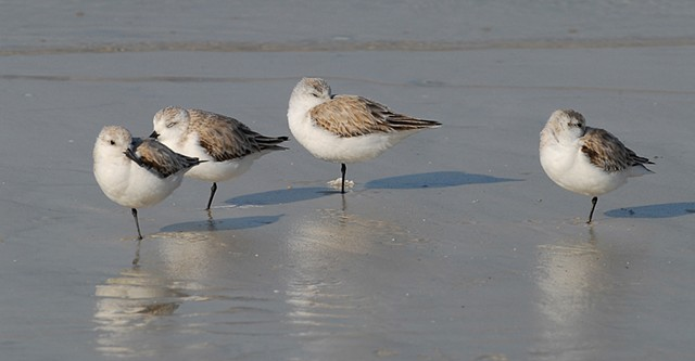 Dozing Sanderlings