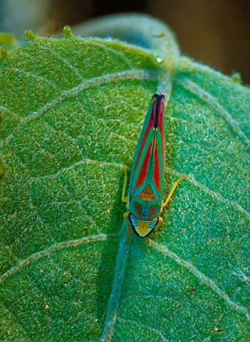 Scarlet-and-green Leafhopper