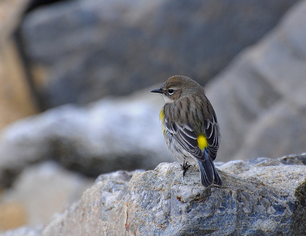 Yellow-rumped Warbler, winter