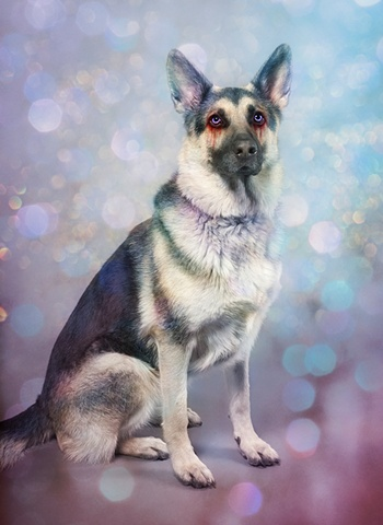 photograph of german sheherd with lavender eyes by christopher andres