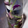 Submerged Purple Calla Lilies