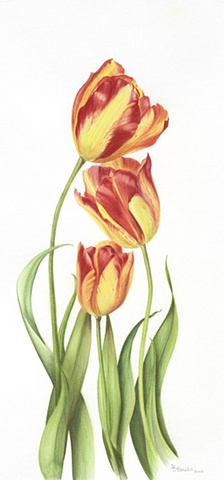 watercolor on paper/ yellow & red flame tulips