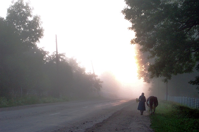 Taking the cow to the field at dawn