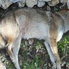 Coyote Friend