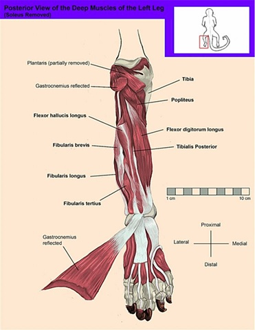 Posterior View of the Deep Muscles of the Leg
