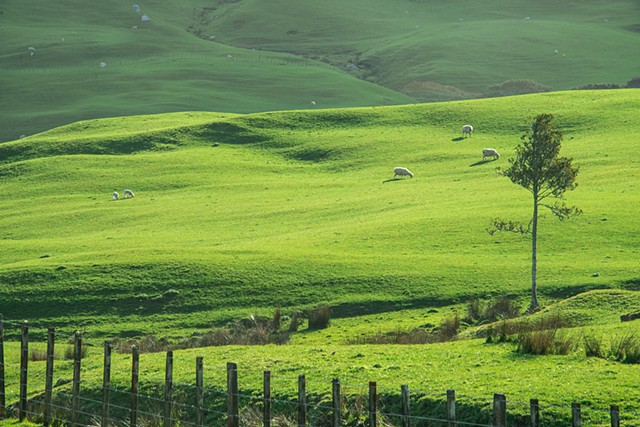 Landscape of Rolling Hills on farm near Hamilton New Zealand