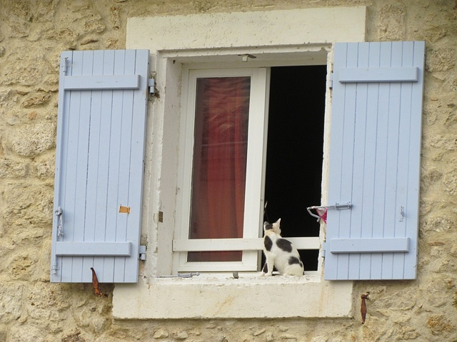 cat, grey and white cat, window ledge, blue shutters, red curtain, open window, looking inside