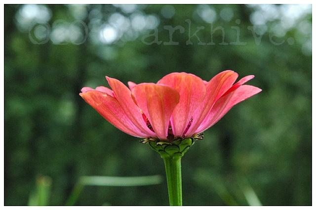 'pink gerber'