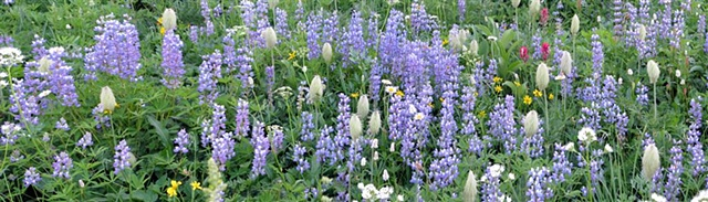 alpine flowers, lupine, Indian paintbrush, Tipsoo Lake