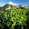Alpine Flora on Skyline Divide, Mt. Baker, Washington