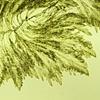 Bryopsis plumosa