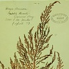 Rhodoptilum densum  (previously Dasya plumosa)