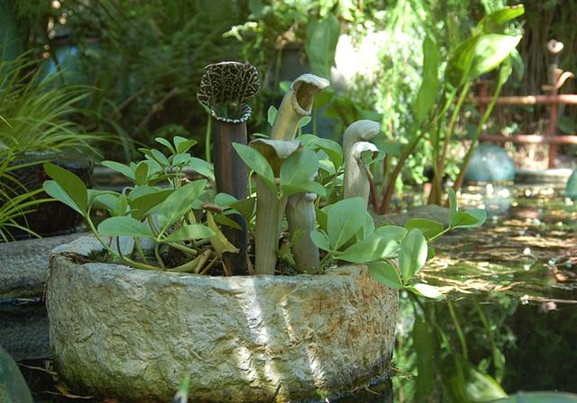 Venus Fly Trap, Donahue Garden