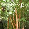 Bamboo, Donahue Garden