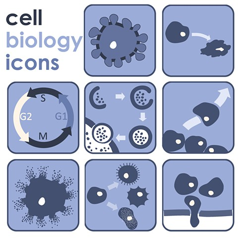 cell senescence migration differentiation cell cycle cell icons