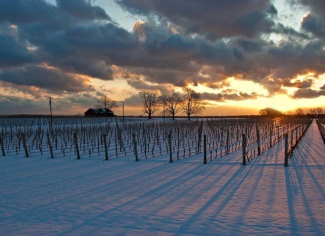 Long Shadows of Winter Vines by JoAnne Dumas