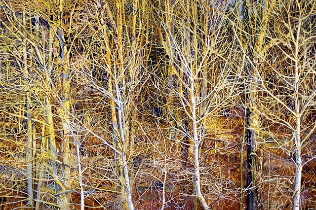 These birch trees grow up the side of a hill. In the late afternoon their white bark reflects the light of the sunset.