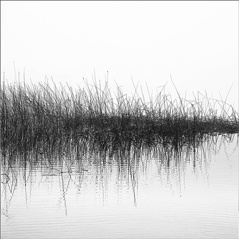 Subtle ripples transform a silent vision of stark reeds encased in fog, abstract.