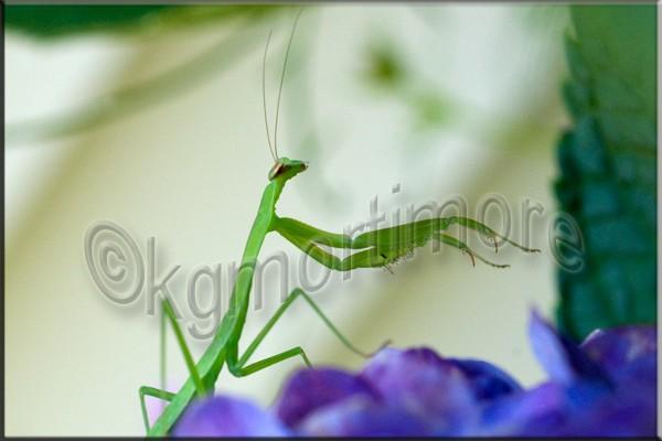 karengeorgemortimore,praying mantis, insects,