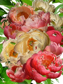 Photo montage of Coral Tree Peony flowers and leaves