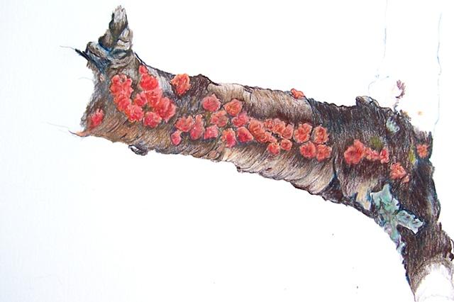 red lichen