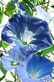 Photo montage of morning glory flowers