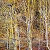 Leslie Parke-Branches