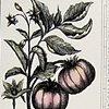 Pedia   (First page, Tomato)