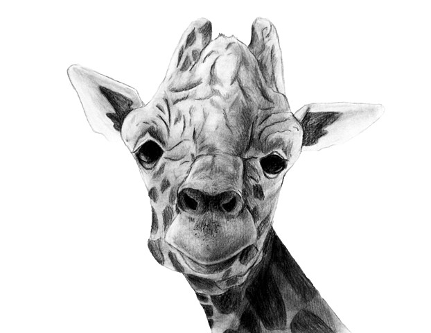 Graphite portrait of a giraffe in Silver Springs, FL