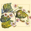 Himalayan Blackberry (Invasive Species)