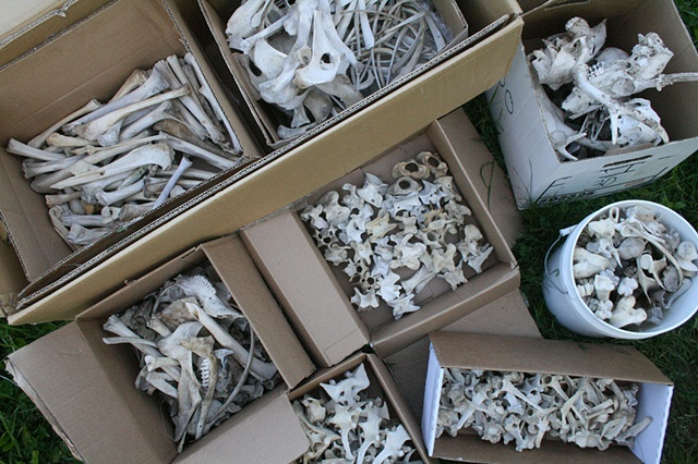 Sorted bones collected from the state road dumpsite.