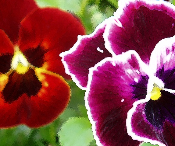 Red and Magenta Pansies