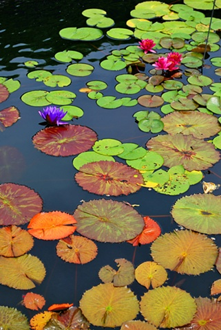 Botanic, Garden, Chicago, water lilies, pond, lilies, lily pad, organic,