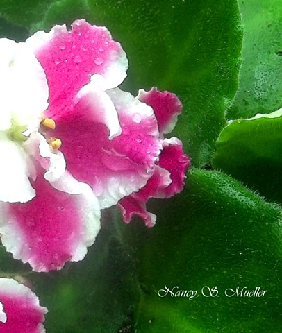 Pink African Violet Painting