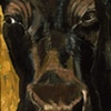 Black Nosed Black Cow